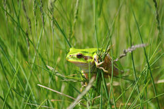 Green tree frog. Climb on grass Stock Photos