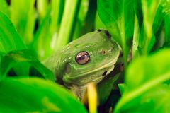 Green tree frog. In lush foliage royalty free stock image