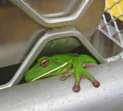 Green tree frog Stock Image
