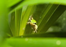 Green tree frog Stock Images