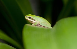 Green tree frog Royalty Free Stock Photography