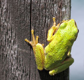 Green Tree Frog. On fence post stock images