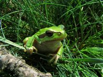 Green tree frog. In the grass Stock Photos