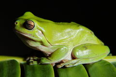 Green Tree Frog. Closeup of a tropical green tree Frog Royalty Free Stock Image
