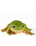 Green tree frog. On white ready to jump stock photography