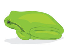Green tree-frog Royalty Free Stock Images