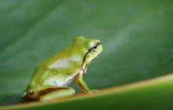 Green tree frog. An Australian Green Tree Frog - juvenile - Litoria caerulea - sitting on a long broad green leaf Stock Image