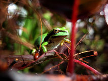 Green tree frog. A green tree frog in a bush Royalty Free Stock Photo