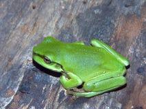Green Tree Frog. Tiny Green Tree Frog royalty free stock photography