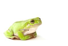 Green tree frog. A green tree frog on a white background Stock Image
