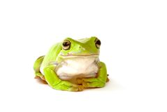 Green tree frog. A green tree frog on a white background Royalty Free Stock Photo