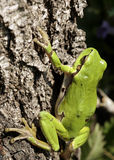 Green tree frog. On the tree royalty free stock photo