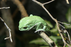 Green Tree Frog. Monkey Frog in Tree royalty free stock photography