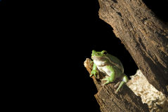 Green Tree Frog. A green tree frog (Hyla cinerea) hangs out on a tree branch, isolated on black Stock Photography