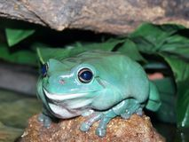 Green tree frog. Queensland Royalty Free Stock Photography