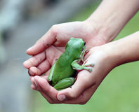 A green tree frog Royalty Free Stock Photos