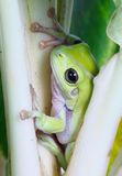 Green tree frog. A green tree frog nestled among plant stalks stock photography