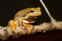 Green Tree Frog on a branch Royalty Free Stock Photography