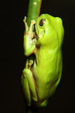 Green Tree Frog on branch stock photo