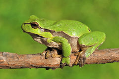 Green tree frog on branch Royalty Free Stock Image