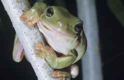 Green tree frog on branch close-up Stock Images