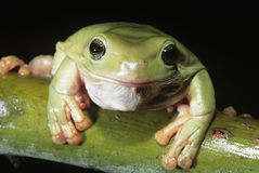 Green tree frog on branch close-up Royalty Free Stock Photos