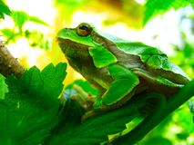 Green tree frog on a branch among foliage stock photos