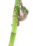 Green tree frog climbing Stock Image