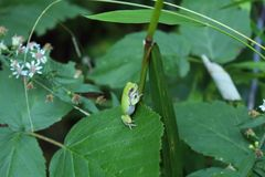 Green Tree Frog Climbing Royalty Free Stock Images