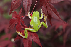 Green tree frog climbing on leaves. & x28; Hyla arborea & x29 Royalty Free Stock Photo