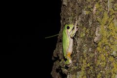 Green tree frog climbing trunk Stock Photography