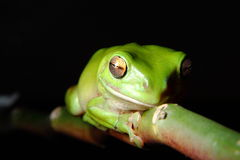 Green Tree Frog clinging to branch stock photography