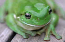 Green Tree Frog Close Up Stock Photos