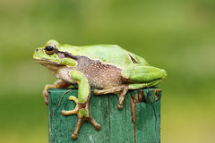 Green tree frog close up Royalty Free Stock Photography