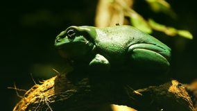 Green tree frog. Close up of a green tree frog on a branch stock video
