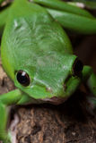 Green tree frog close up Royalty Free Stock Images