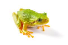 Green tree frog close up. Over white background Stock Photos