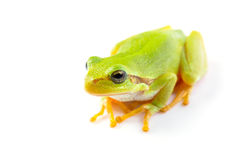 Green tree frog close up. Over white background Royalty Free Stock Photo