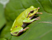 Green Tree Frog Stock Photos