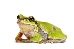 Green tree frog close up on white Stock Image