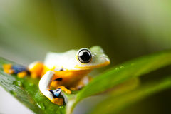 Green tree frog on colorful background Royalty Free Stock Images