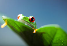 Green tree frog on colorful background Royalty Free Stock Photography