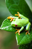 Green tree frog on colorful background Royalty Free Stock Photos