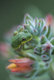 Green Tree Frog On Echeveria Succulent Plant Stock Image