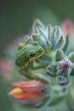 Green Tree Frog On Echeveria Succulent Plant Stock Image