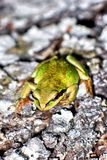 Green Tree Frog on Evergreen Bark Stock Photo