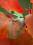 Green tree frog in fall. A green tree frog is resting after climbing on a maple tree in fall stock photography