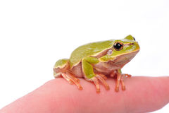Green tree frog on the finger Royalty Free Stock Photo