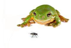 Green tree frog and a fly Stock Photo