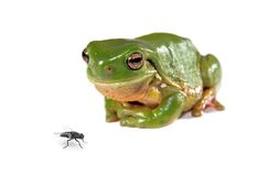 Green tree frog and a fly Stock Image